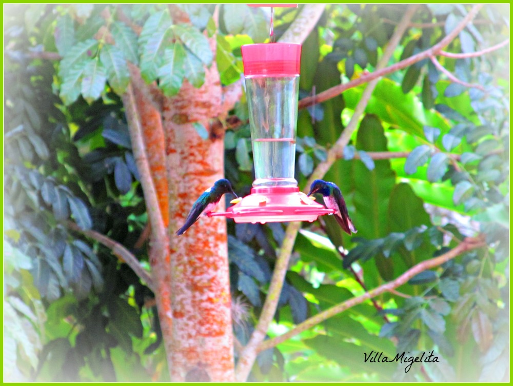 Hummingbirds 021