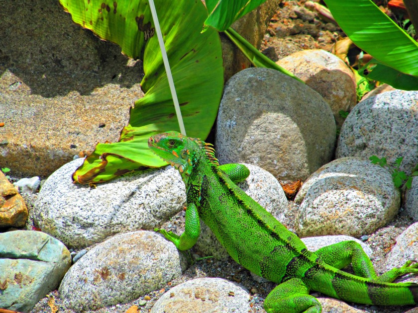butterfly-and-iguana-042