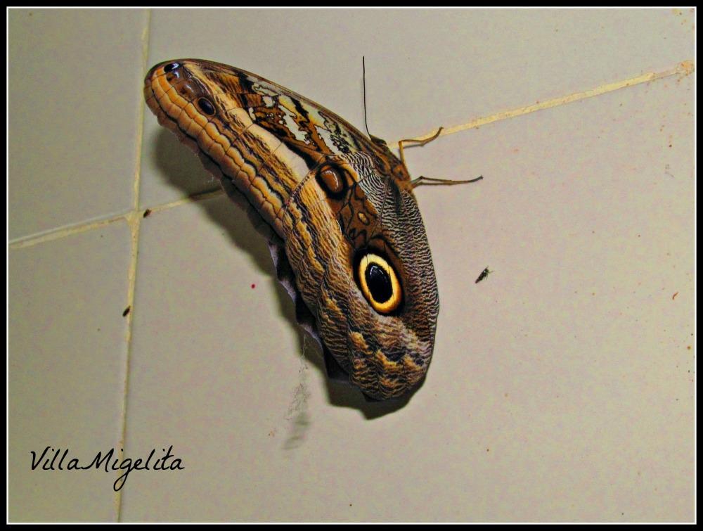 huge-butterfly-003