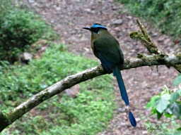The green and blue of the Barranquero bird