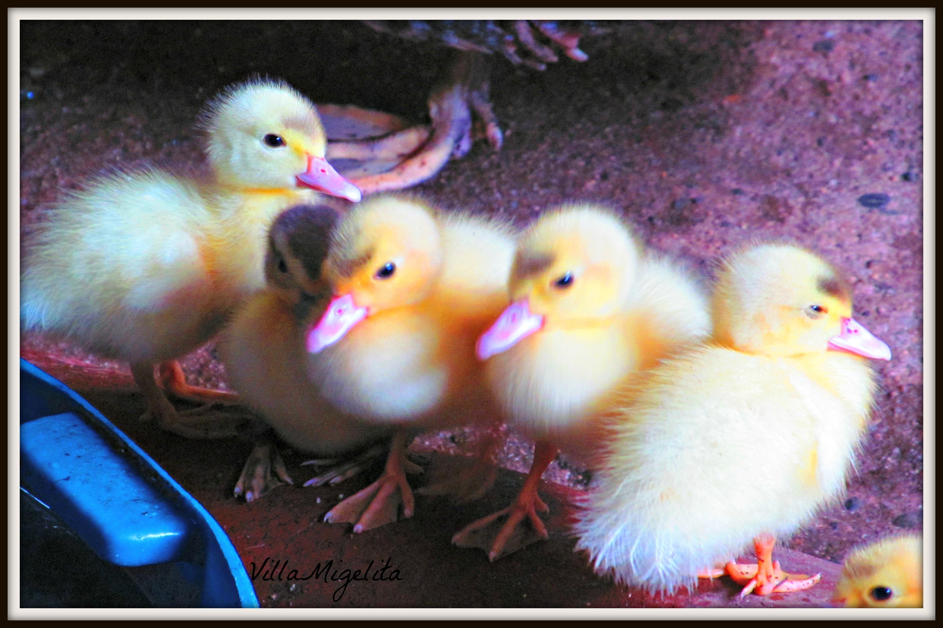birds and ducks 015