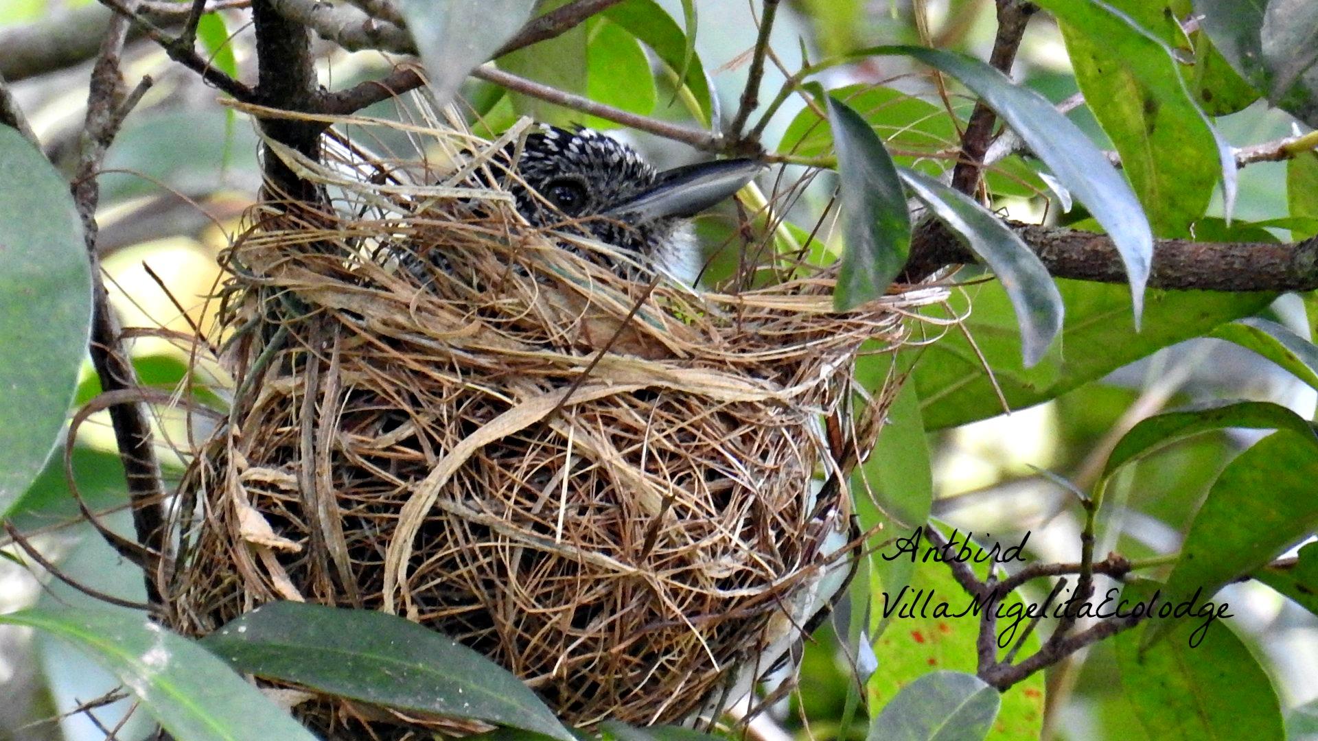 antbird in nest
