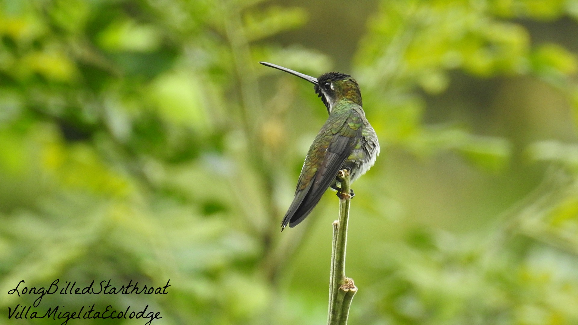 Long Billed Starthroat 4