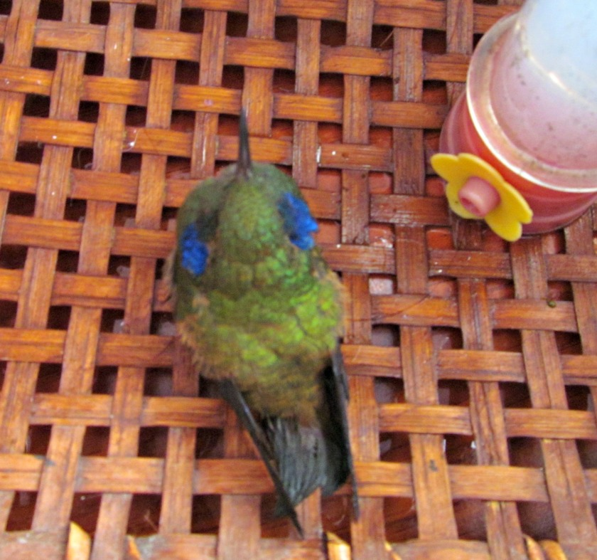 baby hummingbird 014