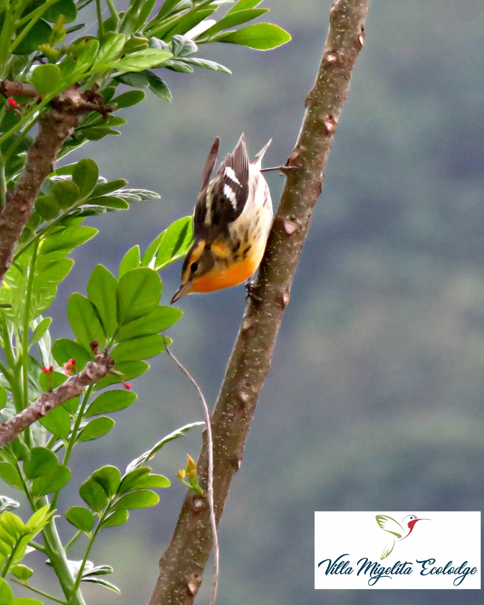 hummingbird on heliconia and birds 022