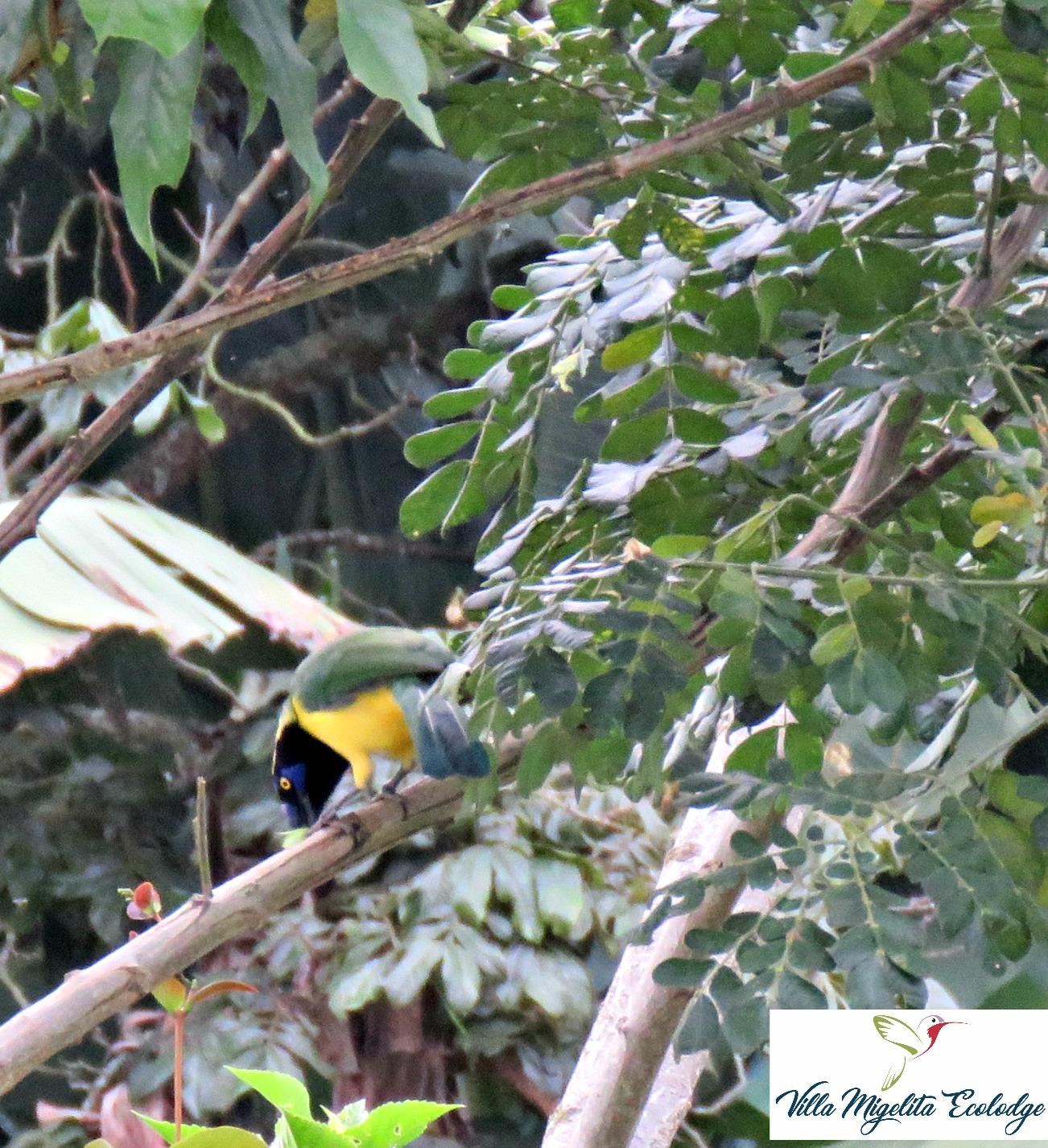 Hummingbirds and Cariqui bird 004