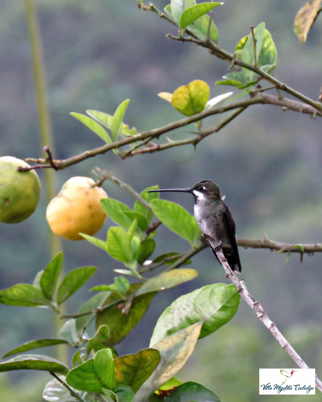 Long billed starthroaat and birds 017